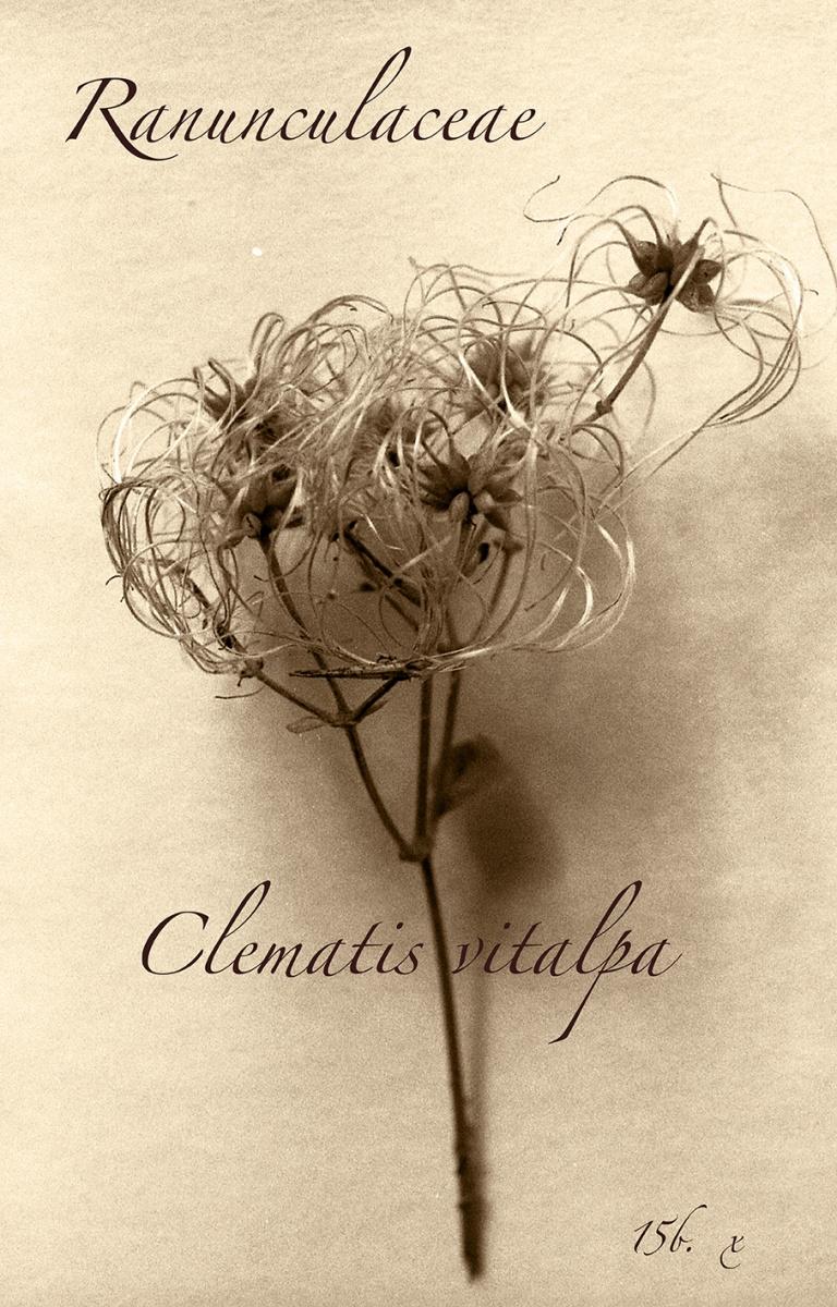ClematisV